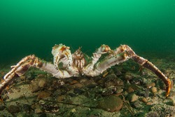 Giant king crab sits on the rocky bottom. Underwater photo was made on the far east of Russia.