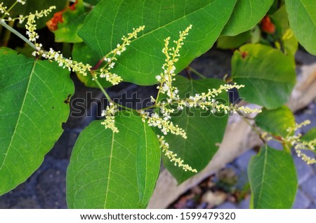 Giant knotweed (Fallopia sachalinensis). Known also as Sakhalin Knotweed also. Another scientific names are Reynoutria sachalinensis and Polygonum sachalinensis.