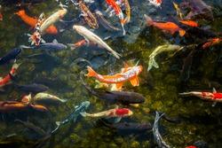 Giant Koi carp Japanese fish pond lake water pool. Golden orange black gold white school of underwater fish. z Kenrokuen zen garden, Kanazawa, Japan