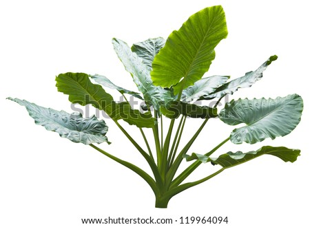 giant leaf, giant alocasia tree or caladium tree isolated on white.