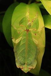 Giant leaf insect (Phyllium giganteum) is one of the largest species of leaf insects that is kept as a pet.