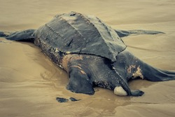 Giant Leatherback Sea Turtle stranded in the beach.