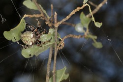 Giant Lichen Orb Weaver. Orb weaver spider retreating to leaf at edge of spider web. Isolated close up.