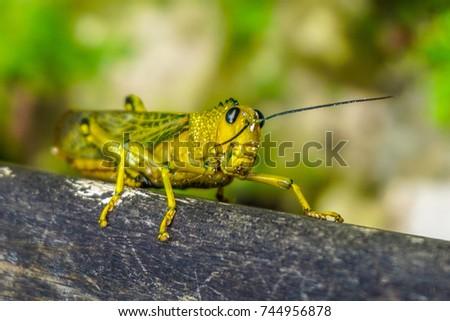 Giant locust #744956878