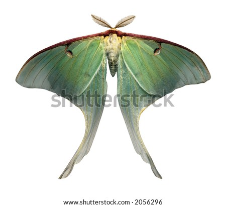 Luna moth scientific illustration - photo#16