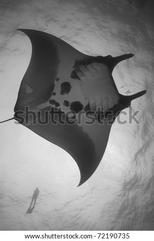 Giant Majestic Manta Ray Gliding through the Andaman Sea, Indian Ocean, Thailand, with a snorkeler in the background. Manta birostris