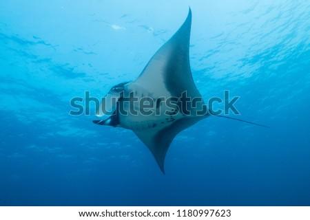 Giant manta ray (Mobula birostris) in the Sea of Cortez #1180997623