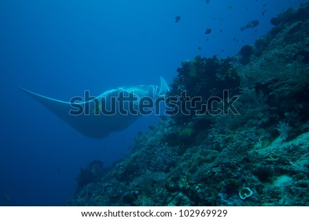 Giant Manta Ray over coral reef