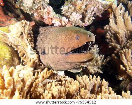 Giant Moray Eel (Muraenidae) coming out of the coral reef, underwater in Indo-Pacific Ocean, Indonesia.