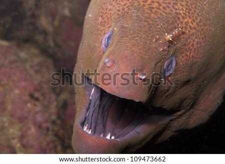 Giant moray eel with shrimp