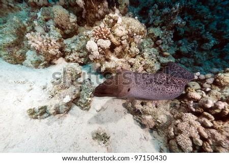 Photo of Giant moray free swimming in the Red Sea