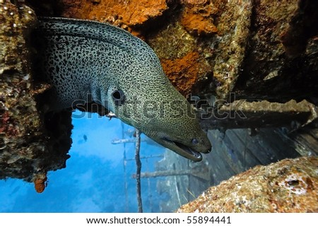 Giant moray on the wreck