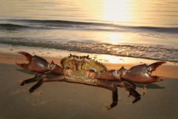 Giant mud crab by the sea