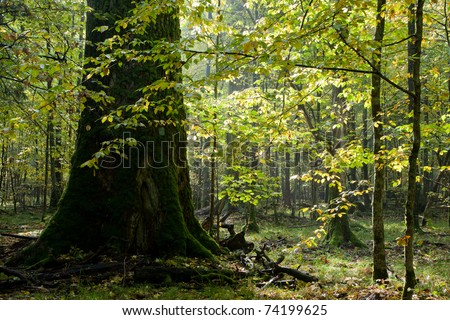 Giant oak tree grows among young hornbeam trees against bright sun - stock photo