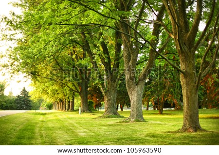 Giant oak trees in a suburban neighborhood in summer