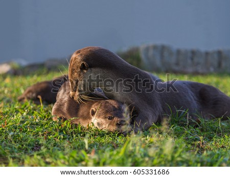 Giant otter (Pteronura brasiliensis), also known as the giant river otter. Wildlife