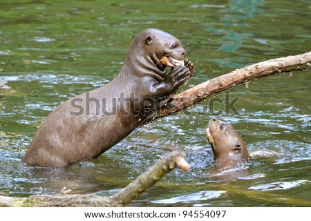 Giant otter (Pteronura brasiliensis) eating a fish on branch above water - stock photo