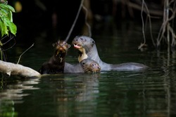 GIANT OTTER pteronura brasiliensis, FEMALE WITH YOUNGS, MANU NATIONAL PARC IN PERU