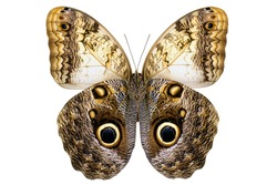 Giant Owl butterfly  (Caligo memnon, male, underside) from Amazon rainforest isolated on white background