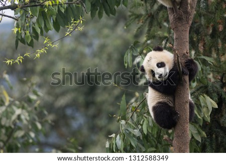 Giant panda, Ailuropoda melanoleuca, approximately 6-8 months old, clutching on to a tree high above the ground. Stock fotó ©