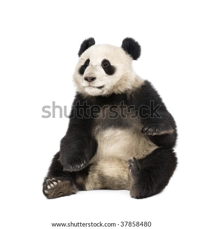 Giant Panda, Ailuropoda melanoleuca, 18 months old, in front of a white background, studio shot