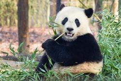 Giant panda (Ailuropoda melanoleuca) or Panda Bear. Close up of giant panda sitting and eating bamboo surrounded with fresh bamboo. Giant panda is native in China.