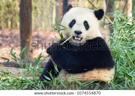 Giant panda (Ailuropoda melanoleuca) or Panda Bear. Close up of giant panda sitting and eating bamboo surrounded with fresh bamboo. Giant panda is native in China.