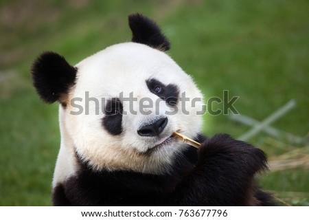 Giant panda (Ailuropoda melanoleuca). Wildlife animal.  #763677796