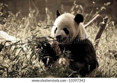 Giant Panda at the National Zoo