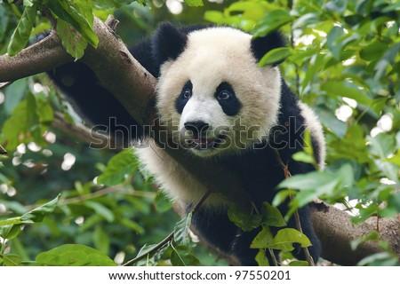 Giant panda bear close-up shot in tree