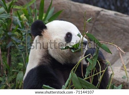 Giant panda bear eating bamboo leafs