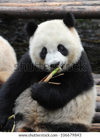 Giant panda bear eating bamboo shoots