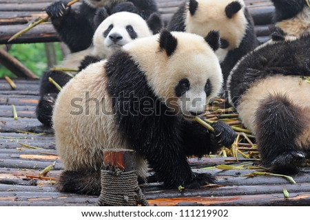 Giant panda bear eating bamboo shoots (with fellow panda bears blurred at background)