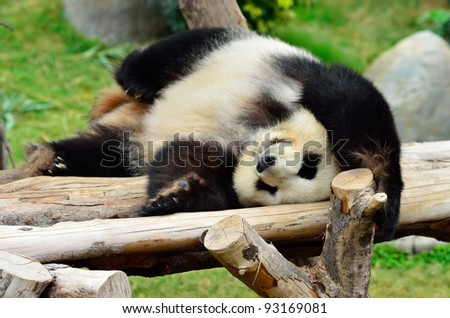 Giant panda bear in the Hong Kong zoo