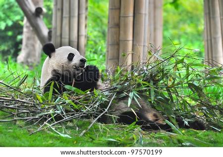 Giant panda bear lying on back and eating bamboo