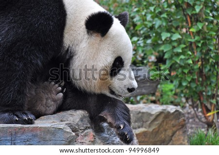 Giant panda bear resting on the stone. Close up.