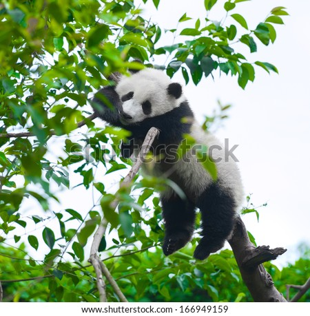Giant panda bear sleeping in tree