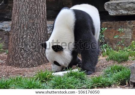 Giant panda bear walking.