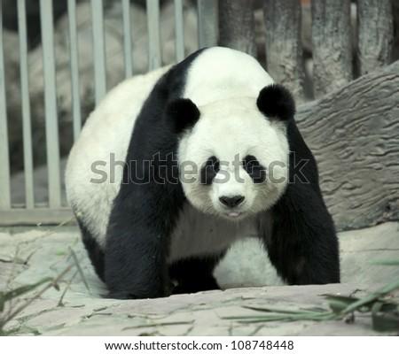 giant panda bear walking and smile