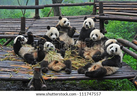 Giant panda bears gather for bamboo meal