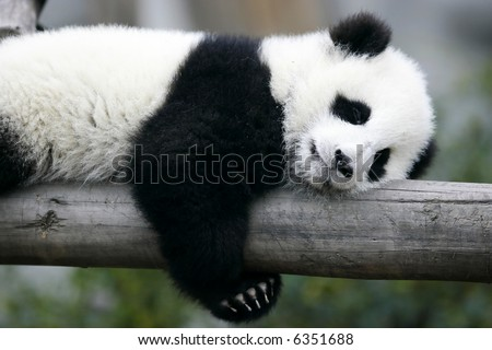 Giant Panda Cub - stock photo