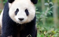 Giant Panda curiously looking at camera, like a wildlife cam shot. Chengdu, Szechuan, China