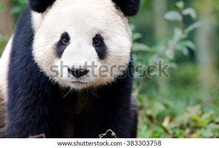 Giant Panda curiously looking at camera, like a wildlife cam shot. Chengdu, Szechuan, China