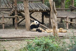 Giant panda eating bamboo at zoo forest nature landscape
