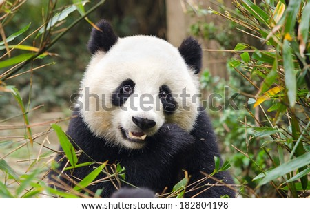 Giant Panda Eating Bamboo Chengdu China