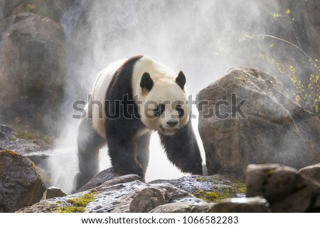 Giant Panda in the fog