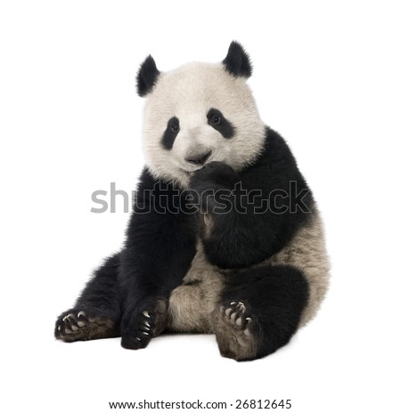Giant Panda 18 months Ailuropoda melanoleuca in front of a white background