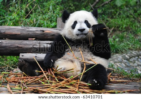 Giant panda posing for camera and eating bamboo