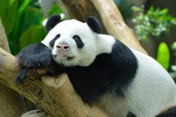 Giant panda resting in the park.