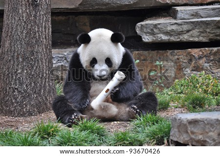 Giant Panda sitting up, and playing with a toy. Australia, Adelaide zoo